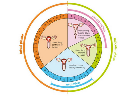 Menstruation cycle