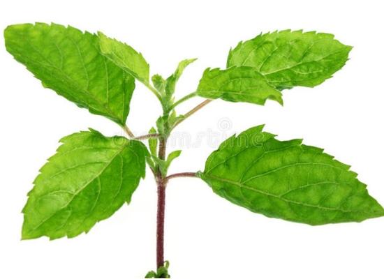 Basil or tulsi leaves
