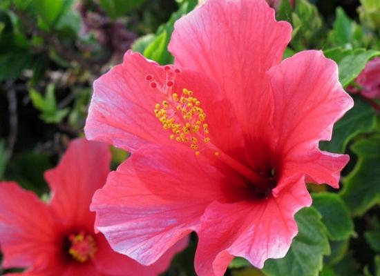 Hibiscus flowers4