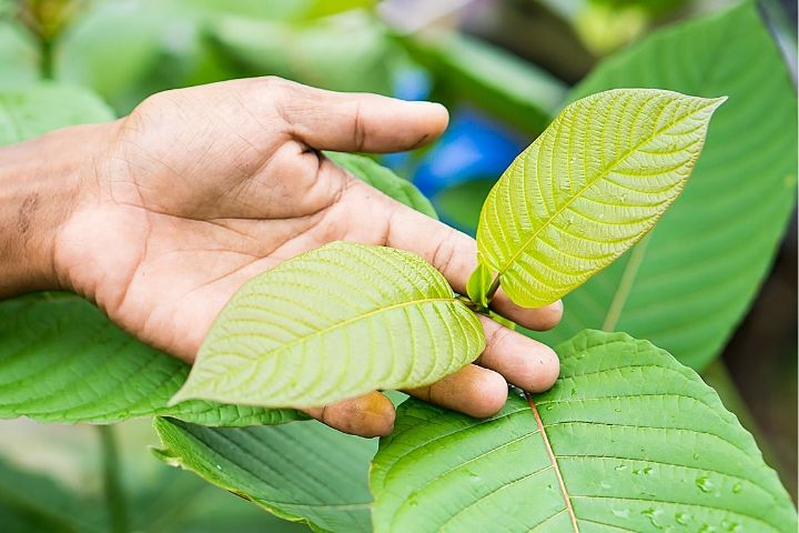 7 Impressive Benefits of Kratom Leaves For Healthy Lifestyle ?>
