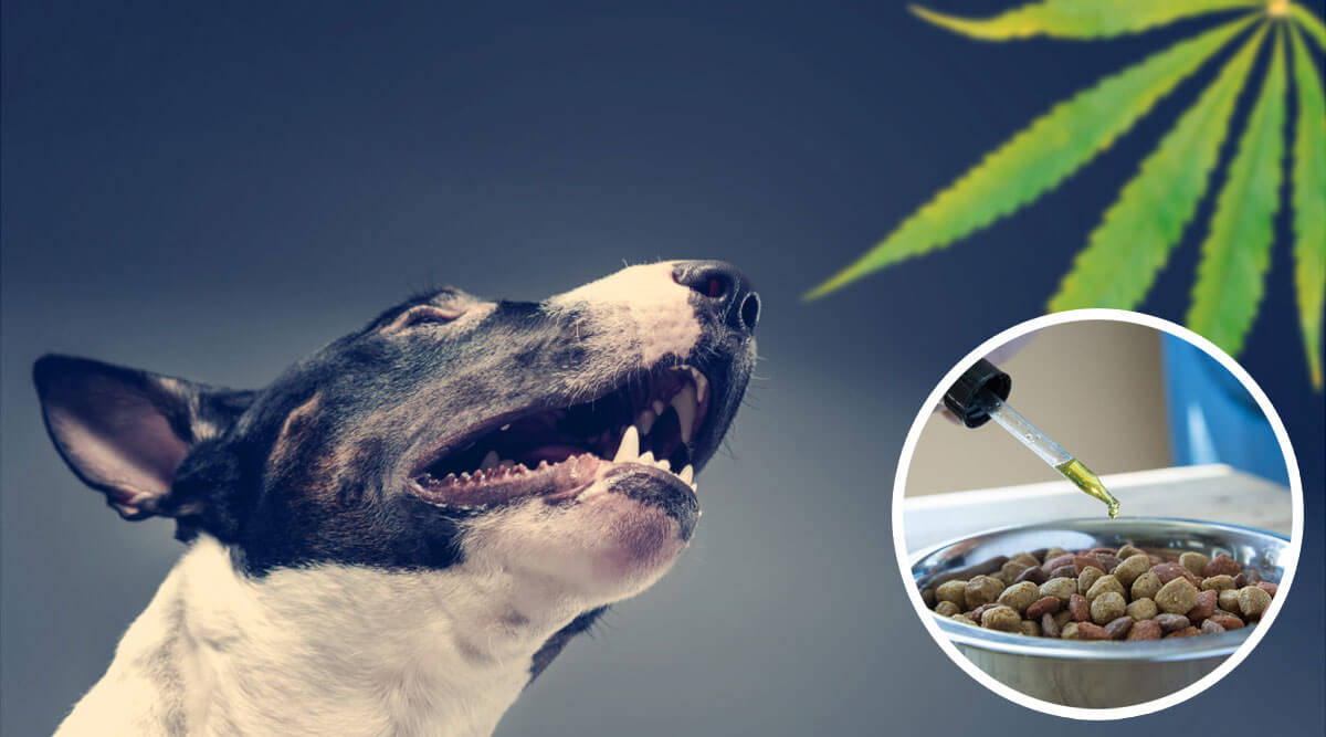 What to Look For When Purchasing CBD Oil For Pets ?>